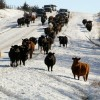 Cattle Drive 1
