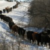 Cattle Drive 3
